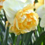 Daffodil Art Design